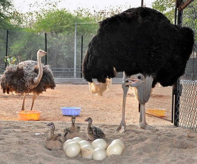 Como montar uma criação de avestruz
