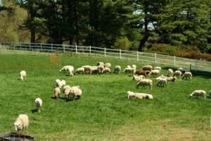 Como montar uma criação de carneiros