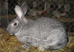 Como montar uma criação de coelhos