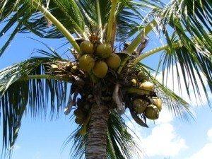 Plantio de Coco Verde