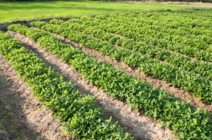 Como cultivar chia no brasil