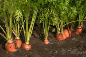 Plantação de Cenoura