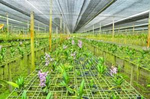 Plantação de Orquídeas