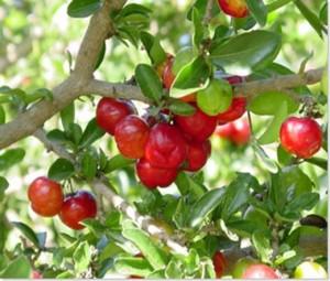 Plantar Acerola