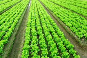 Plantar Alface