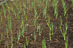 Plantar Alho