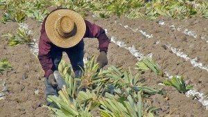 6 Dicas Importantes Para Uma Plantação de Abacaxi de Sucesso