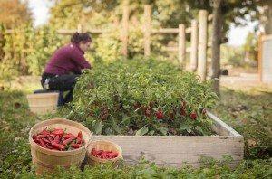 7 Dicas Sobre Como Plantar Pimenta