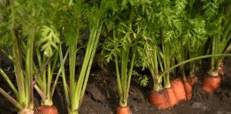 Como Iniciar Uma Plantação de Cenoura