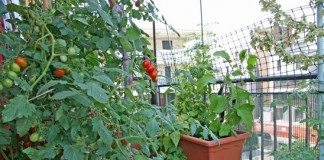 Tudo Que Você Precisa Saber Sobre Plantação De Tomate