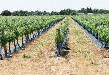 Plantação de Uva Pode Ser um Negócio Lucrativo