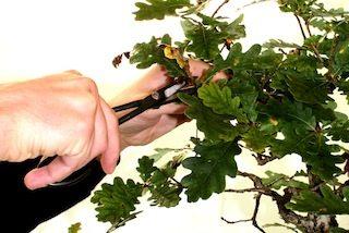 como-podar-bonsai