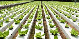 Como Plantar Hidroponia